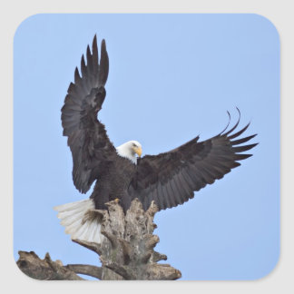 Bald Eagle (Haliaeetus leucocephalus) with wings Square Sticker