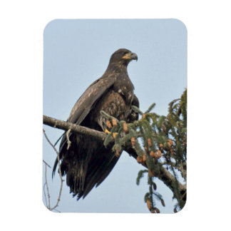 Bald Eagle (Immature) Perches in the Tree Top Rectangular Photo Magnet