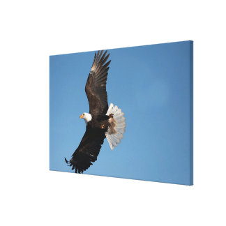 Bald Eagle in Flight, Haliaeetus leucocephalus, 2 Canvas Print