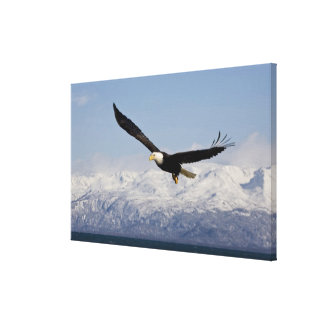 Bald Eagle in Flight, Haliaeetus leucocephalus, 4 Canvas Print