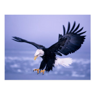 Bald Eagle Landing Wings Spread in a Storm, Postcard