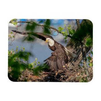 Bald Eagle leaving the nest Magnet