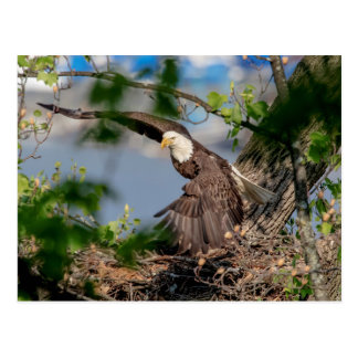 Bald Eagle leaving the nest Postcard