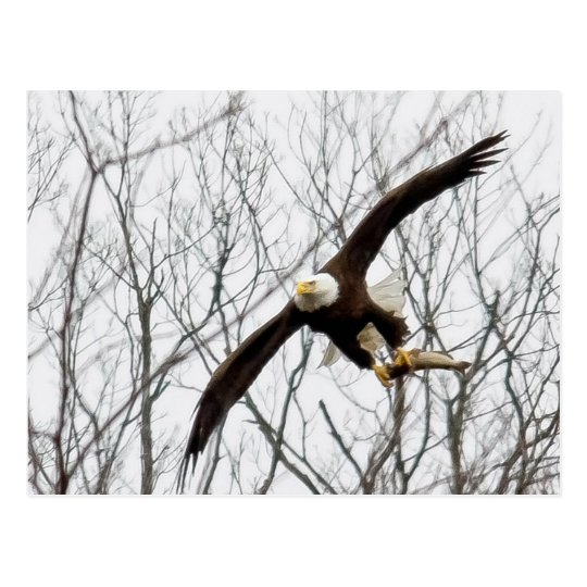 Bald Eagle Meal Delivery Postcard