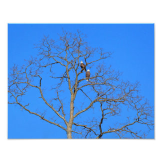 Bald Eagle Pair in Tree Photographic Print