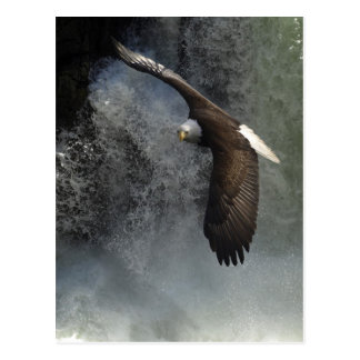 Bald Eagle Postcard
