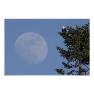 Bald Eagle, Rising Full Moon Poster