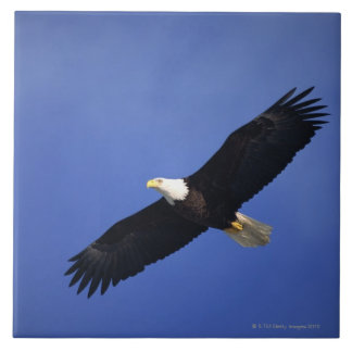 Bald eagle soaring , Alaska Tile