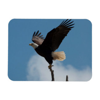 Bald Eagle Takin Flight Rectangular Photo Magnet