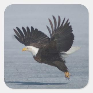 Bald Eagle Taking Flight in Snow Lower Klamath NWR Square Sticker
