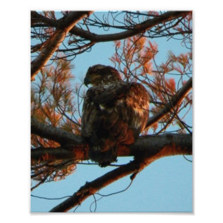 Bald Eagle Yearling Photographic Print