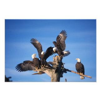 bald eagles, Haliaeetus leuccocephalus, Photo