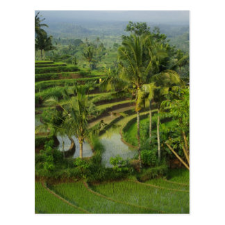 Bali - Young terrace ricefields and palms Postcard
