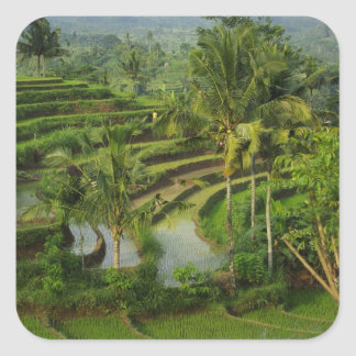 Bali - Young terrace ricefields and palms Square Sticker
