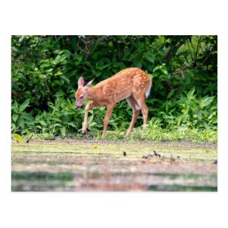 Bambi by the water post cards
