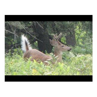 Bambis Father? Postcard