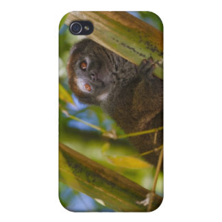 Bamboo lemur in the bamboo forest, Madagascar iPhone 4 Covers