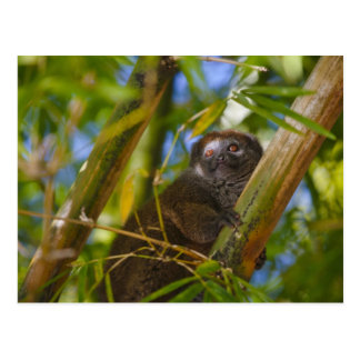 Bamboo lemur in the bamboo forest, Madagascar Postcard
