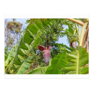 Banana plantation in Sok Kwu Wan Lamma Island Postcard