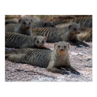 Banded mongoose postcard