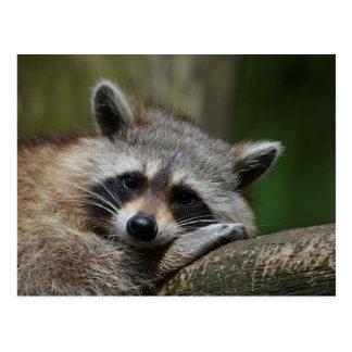 Bandit at Rest Cute Raccoon Postcard