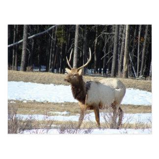 Banff Elk Postcard