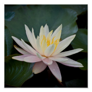 Bangladesh Water Lily Poster
