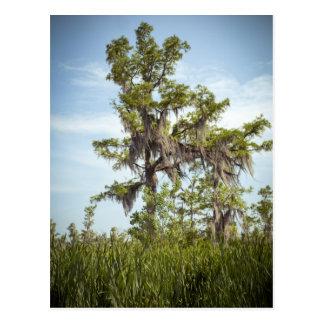 Barataria Swamp Cypress Tree Postcard