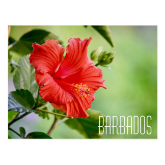 Barbados hibiscus flower postcard