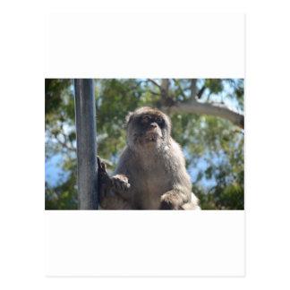 Barbary Ape Postcard