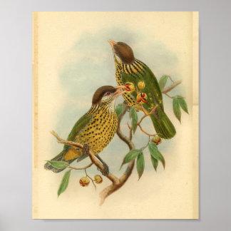 Barbet Cat Bird Green Yellow Vintage Print