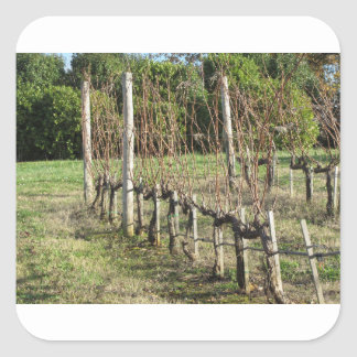 Bare vineyard field in winter . Tuscany, Italy Square Sticker