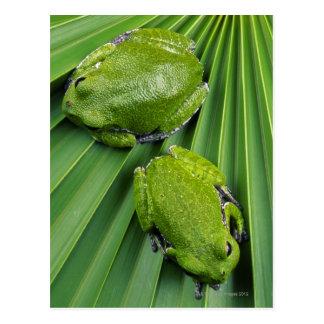 Barking Tree Frog (hyla gratiosa) Postcard