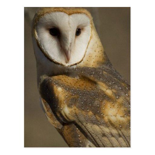 Barn Owl 3 Post Cards