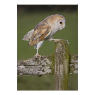 Barn Owl going for a stroll Poster