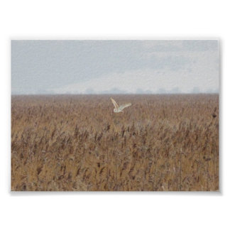 Barn owl hunting over reedbeds poster