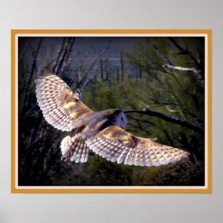Barn Owl in midflight Poster