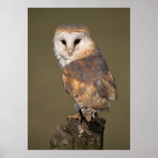 Barn Owl Poster by cARTerART