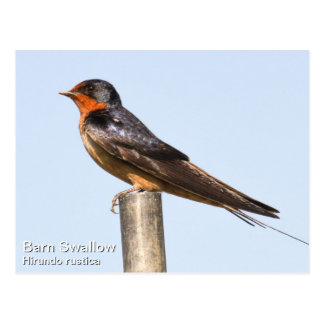 Barn Swallow Postcard
