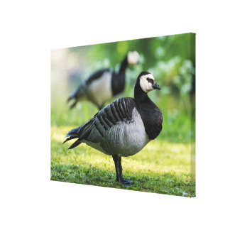 Barnacle Goose Standing Canvas Print