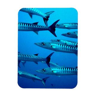 Barracudas Magnet