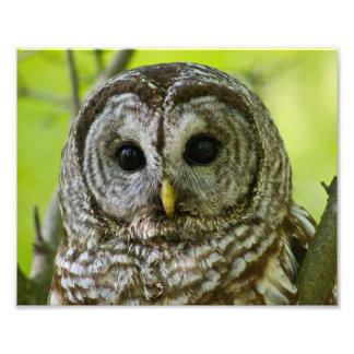 Barred Owl Portrait. Photo Print