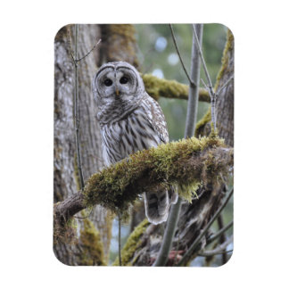 Barred Owl Resting on a Moss Covered Limb Rectangular Photo Magnet