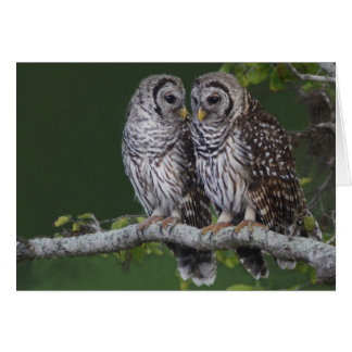 Barred Owls Card