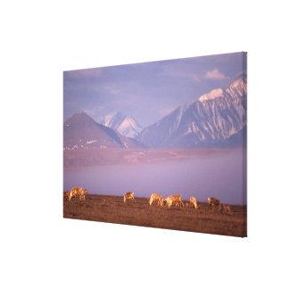 Barren ground caribou, Porcupine herd on calving Canvas Prints