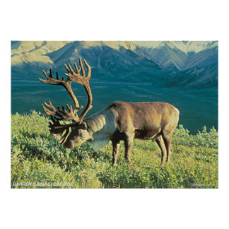 Barren Ground Caribou Poster