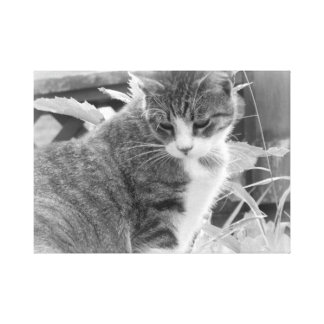 Bashful Kitten Canvas Print