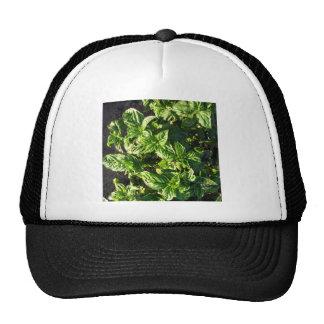 Basil cultivated in open field trucker hat