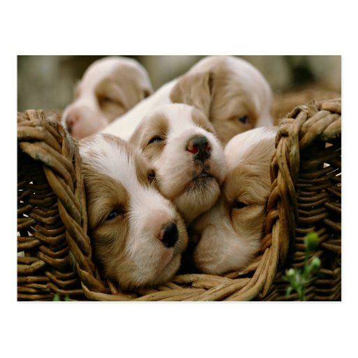 basket full of puppies post cards