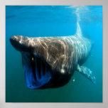Basking shark (Cetorhinus maximus) Poster